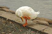stock photo of webbed feet white  - Pekin duck emphasising a point - JPG
