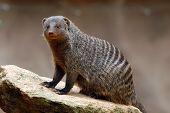 Banded mongoose (Mungos mungo).