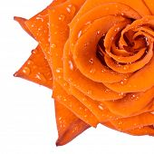 beautiful orange rose close up