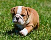 cute puppy running in the grass - english bulldog