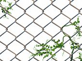 Barbed wire with ivy