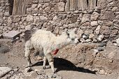 picture of lamas  - Lama at Isla del Pescado - JPG