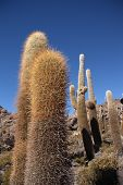 Huge Cactuses over blue sky in Salar de Uyuni