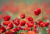 Beautiful Wild Poppies