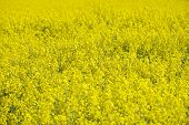Rape field in early spring in Saxony Germany. Rapeseed is mainly cultivated for bio fuel production.