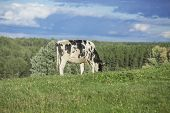 Holstein cow grazing on a beautiful summer afternoon