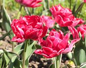 Spring Red Double Tulips