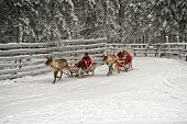 Racing On The Reindeer Sledges