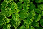 picture of sting  - Fresh stinging nettles growing in a field - JPG