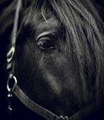 image of black horse  - Black - JPG