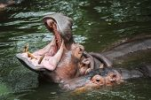 picture of animal teeth  - a hippopotamus is opening its mouth wide - JPG