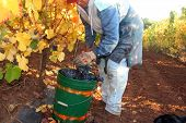 Woman Harvesting Grapes
