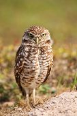 pic of united we stand  - Burrowing Owl  - JPG