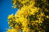 stock photo of mimosa  - Mimosa yellow flowers against blue sky - JPG