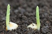 foto of germination  - Close up of Corn germination on fertile soil - JPG