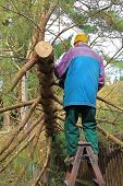 picture of fallen  - senior cutting down a fallen tree after storm - JPG