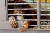 stock photo of orangutan  - Lonely aged orangutan no freedom inside the cage - JPG