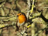 stock photo of lichenes  - Robin perched on lichen covered tree branch - JPG