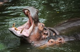 stock photo of herbivore  - a hippopotamus is opening its mouth wide - JPG