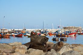 picture of lion  - Wild South American Sea Lions  - JPG