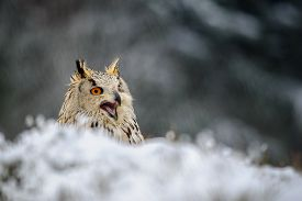 picture of snow owl  - Eurasian Eagle Owl sitting on the ground with snow in winter time and shout. Freeze weather with closeup raptor.