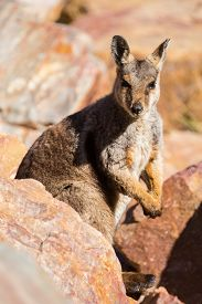 picture of wallabies  - A rare sighting of a rock wallaby amongst rocks in a cliff face at Ormiston Gorge in Northern Territory - JPG