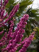 stock photo of judas tree  - Flowers of an Cercis europea. Spring in Sochi.
