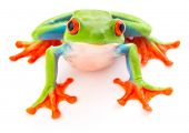 Red eyed tree frog an animal with vibrant eyes. Agalychnis callydrias lives in the rain forest of Co poster