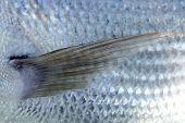 Denton, mediterrane Sparus Fisch, Familie von Goldbrassen und Schnapper