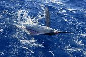 Atlantic white marlin big game sport fishing over blue ocean saltwater