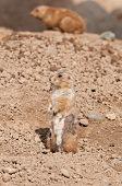 Prairie Dog (Cynomys ludovicianus) Stands
