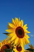 Sunflower Vertical