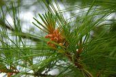 Evergreen Pine Needles