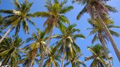 Coconut Trees Or Palm Tree. Royalty High-quality Free Stock Photo Image Of Coconut Trees Or Palm Tre poster