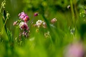 Pink Wild Flowers. Blooming Flowers. Beautiful Pink Rural Flowers In Green Grass. Meadow With Rural  poster