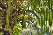 The Coconut Tree (cocos Nucifera) Is A Member Of The Palm Tree Family (arecaceae) And The Only Livin poster