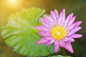 Beautiful Lotus Flower In Garden. Lotus Flower Background. Lotus Flower Texture. Lovely Lotus. Lotus poster