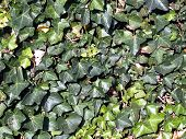 stock photo of english ivy  - A background of green English Ivy in the sunlight - JPG