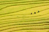 Three Women Visit Their Rice Fields In Mu Cang Chai, Yen Bai, Vietnam
