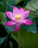 lotus flower blossom. Lotus flower isolated