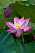 Lotus flower blossom and  lotus flower bud
