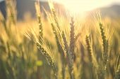 stock photo of farm landscape  - Sunset over wheat field with golden colors