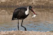 Woolly Necked Stork With Catch