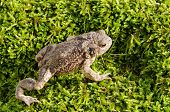 European Toad On Moss