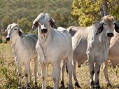 Brahman cow herd on ranch Australian beef cattle meatindustry