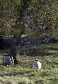 stock photo of pygmy goat  - A lone pygmy goat stands in the pasture near a tree - JPG