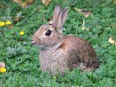 Conejo silvestre
