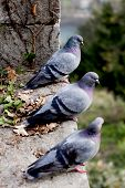 Three grey pigeons on the hill