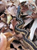 stock photo of harmless snakes  - A garter snake in dry leaves  - JPG