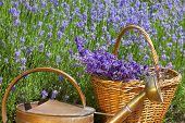 Wicker Basket With Lavender And A Copper Watering Can